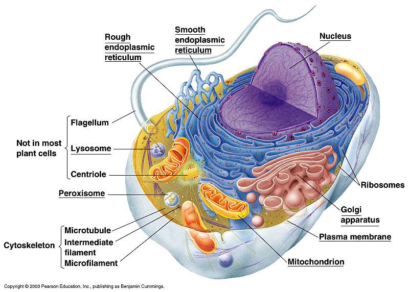 dierencel heeft celmembraan dat bestand is tegen alcohol
